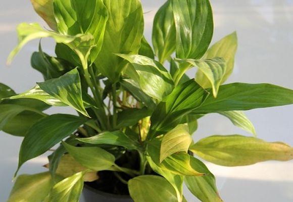 Спатифиллум желтеют кончики листьев
