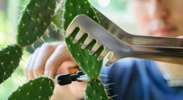Размножение кактуса отростками или детками