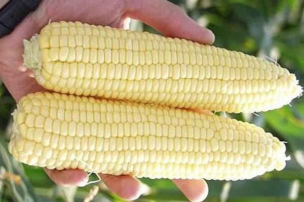 кукуруза сандэнс