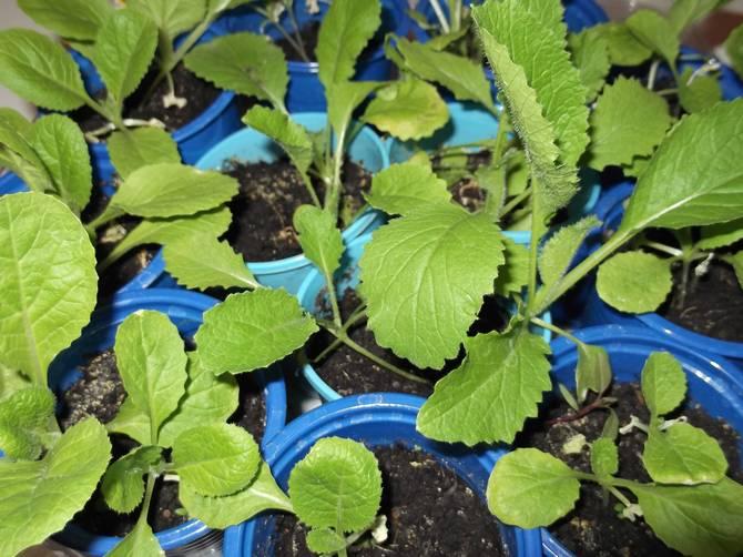 Семена пекинской капусты можно высаживать два раза в год – в конце марта (для рассады) и в конце июня (для употребления зимой).