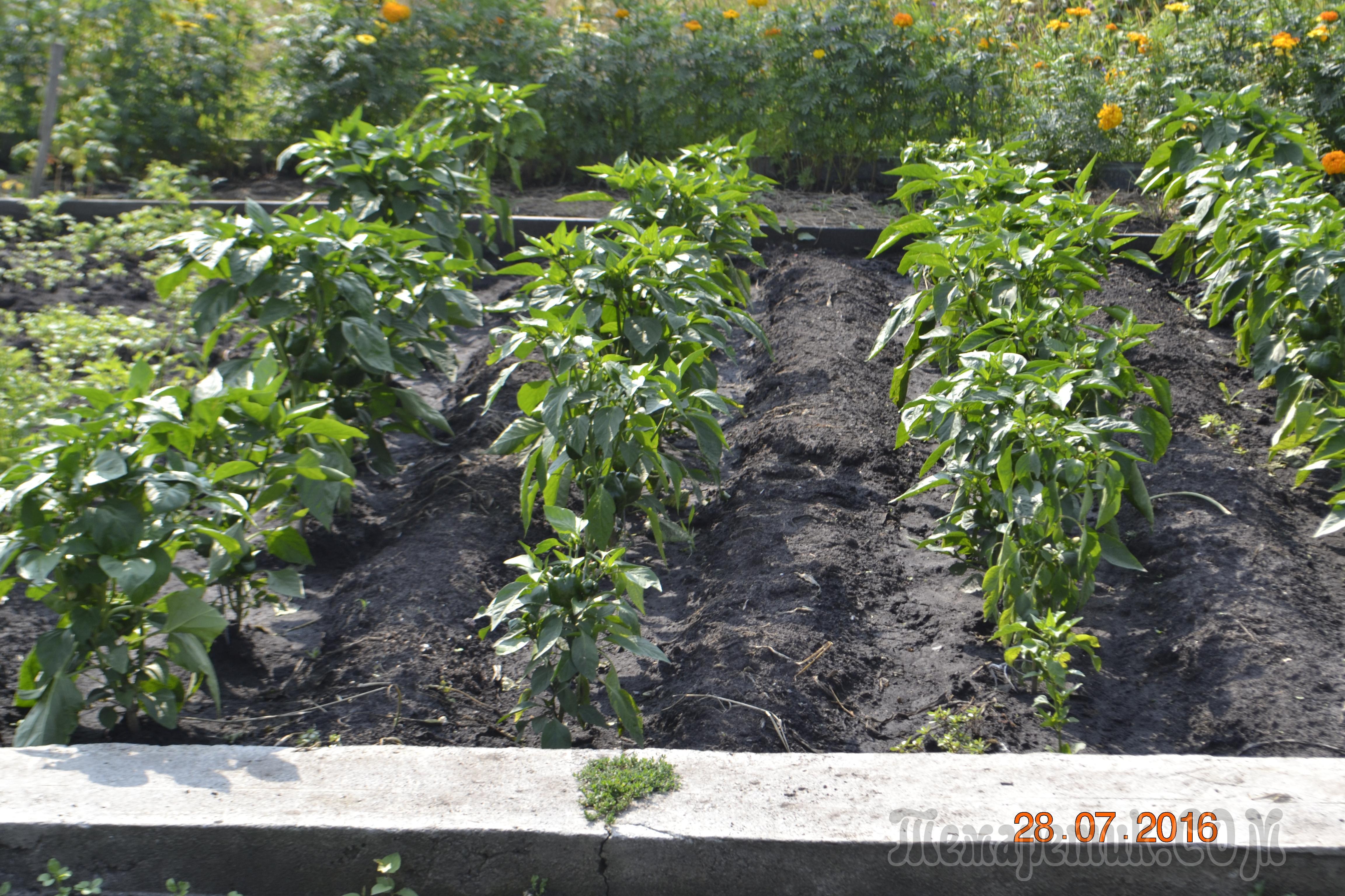 приезжают, фото грядок помидоров перцев именно для этой