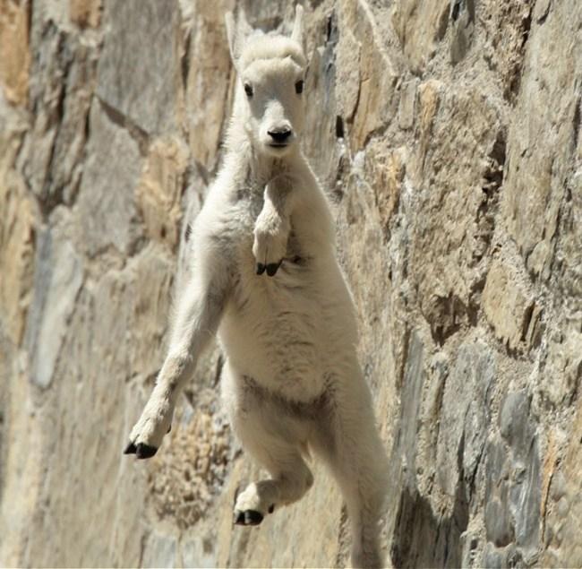 горные козлы бесстрашные животные (13)