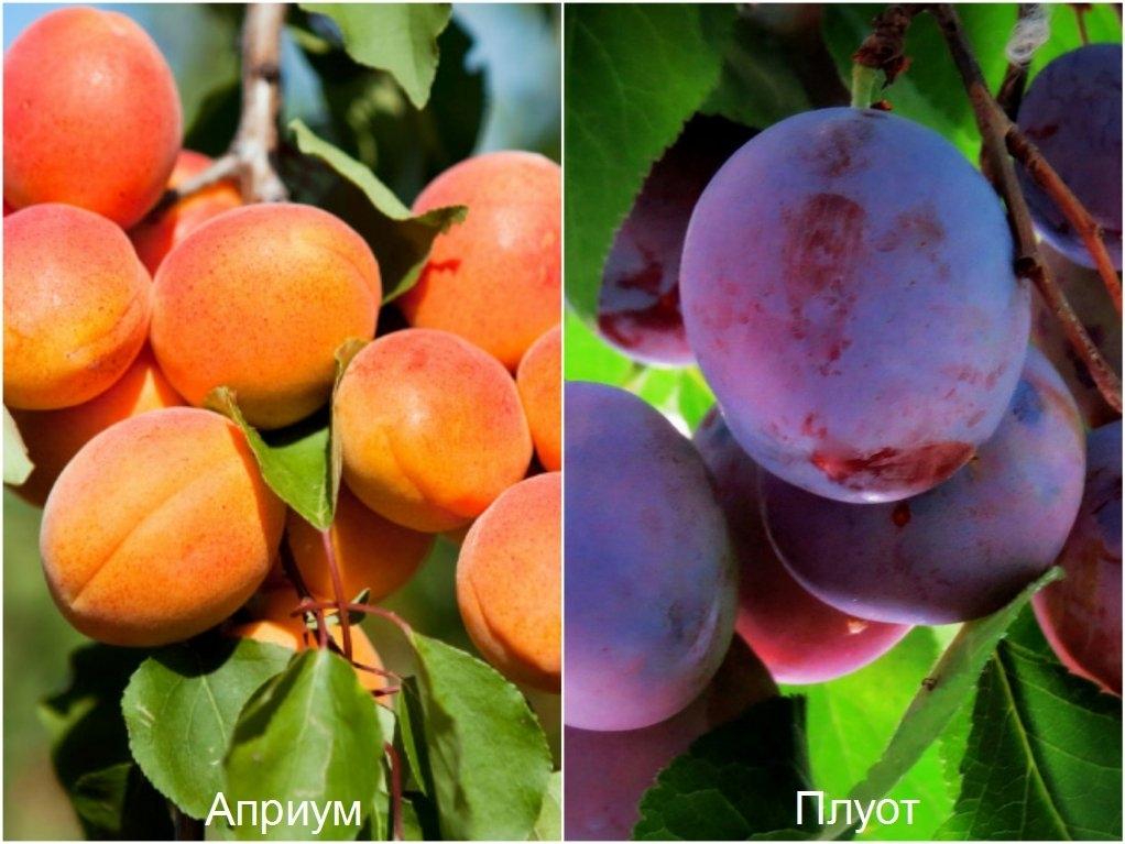 гибрид персик алыча фото модели нашли применение