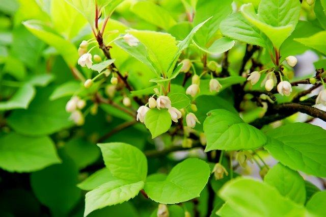 цветение лимонника китайского