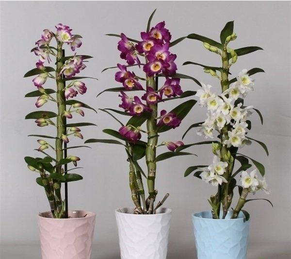Орхидея Дендробиумы