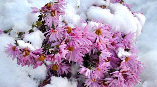 Сентябринки и октябринки, несмотря на свою хрупкость, стойко выдерживают тяжелый слой снега