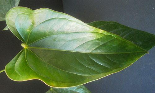 На состояние листовых пластин влияет качество грунта