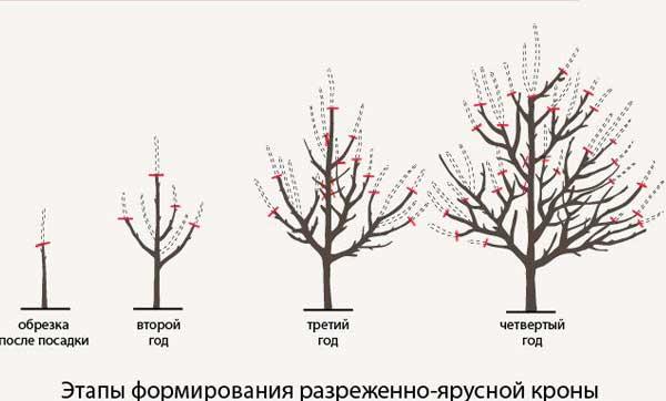 разреженно ярусная обрезка дерева груши