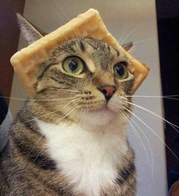 Кот-судья? Кот-выпускник? Или он просто любит вафли? животная мода, животные, животные и люди, коты, показ мод, смешно, фото, шляпки