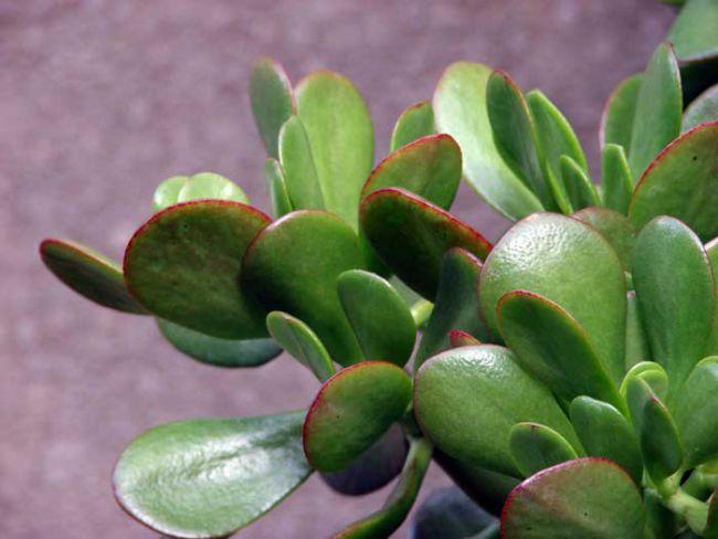 В листве толстянки содержится достаточно высокое количество мышьяка