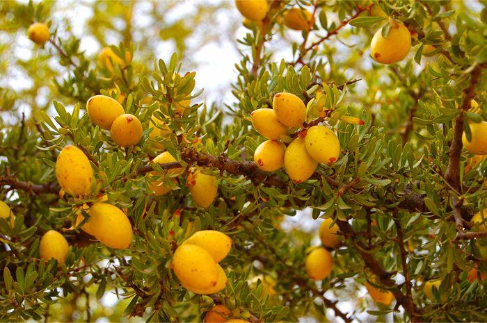 Аргания – вечнозеленое дерево