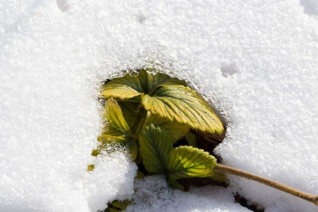 Клубника под снегом