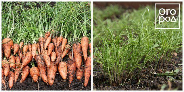 морковь и укроп