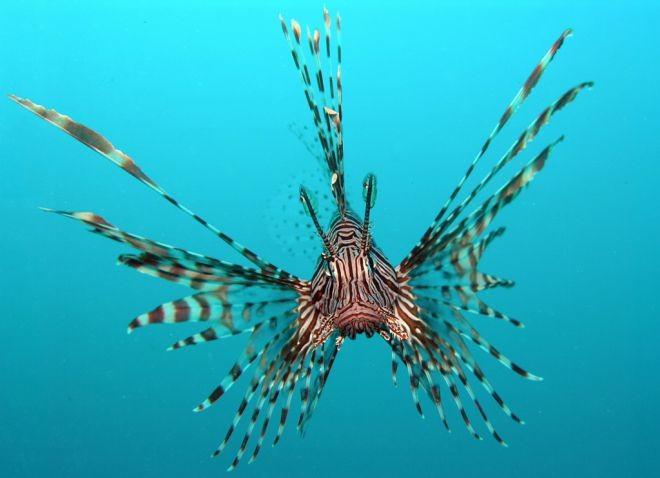 9. Рыба-лев животный мир, море, природа, путешествия, рыбки