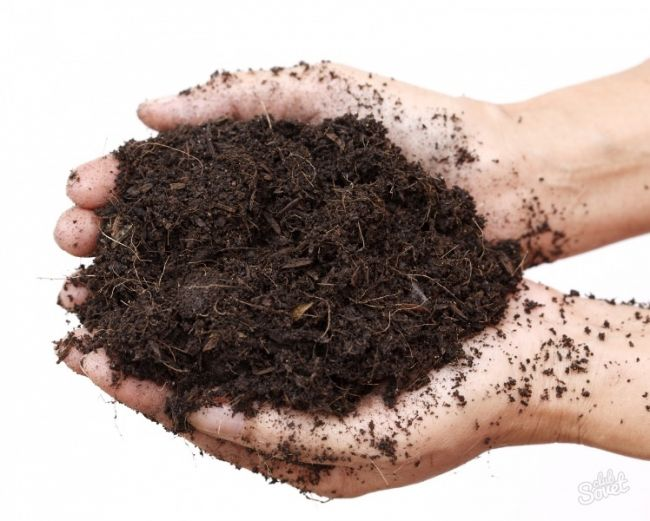 При высадке семян используют почвосмесь, приготовленную из смеси листовой земли и торфа, взятых в равных пропорциях