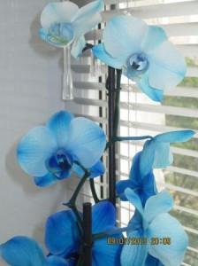 Чтобы орхидея зацвела, орхидея цветок, синяя орхидея фото