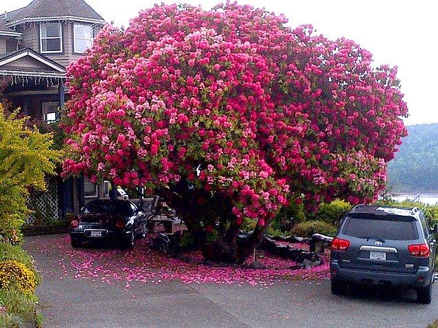 Невероятной красоты куст рододендрона в Канаде.
