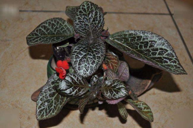 Красочные листья и нарядные цветы эписции не остались без внимания садоводов