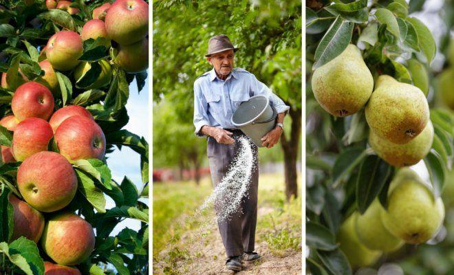 : Коллаж - подкормка яблонь и груш