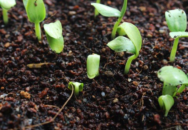 Прорастание семян разных культур