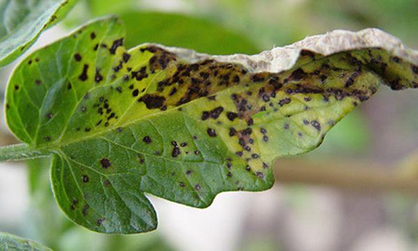 Признаком мозаичной болезни являются пятна на листьях растений