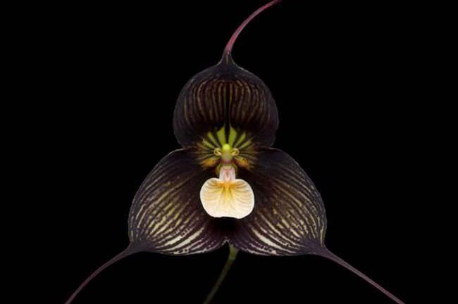 Страшно красива по форме и цвету орхидея Дракула