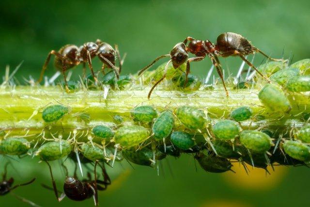 Кока-кола от тли и муравьев