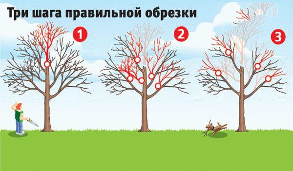три шага обрезки деревьев