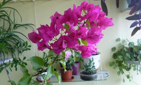 Бугенвиллия розовая. Молодая.