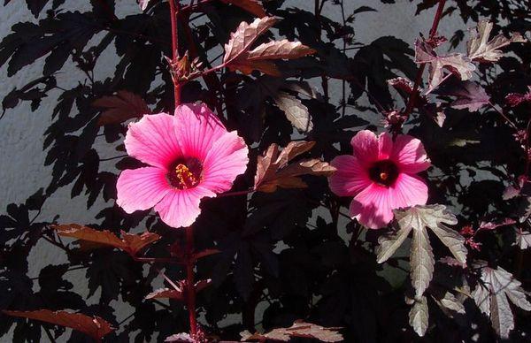 Сорт Hibiscus acetosella