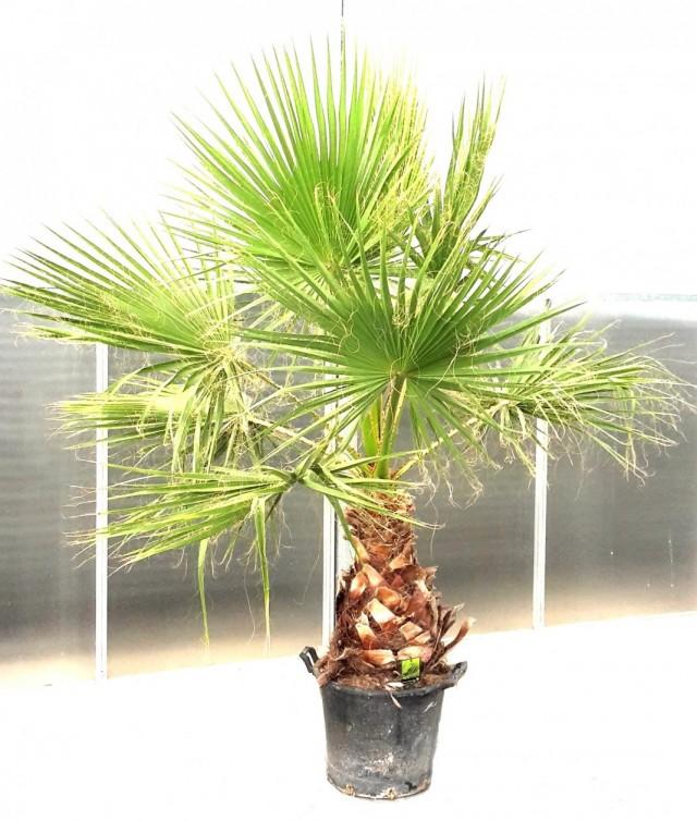 Пальма Вашингтония мощная (Washingtonia robusta)