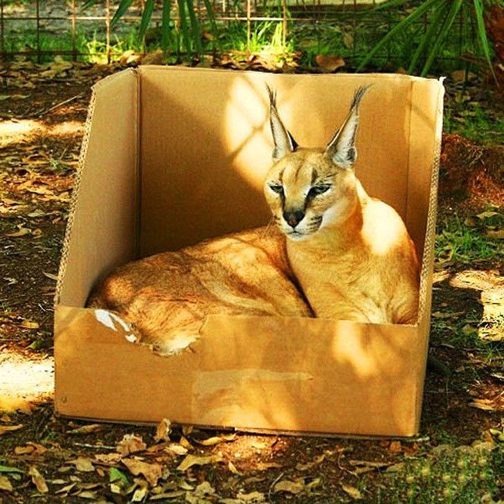 Кошки всегда остаются кошками! 20 кошачьих, для которых размер не имеет значения