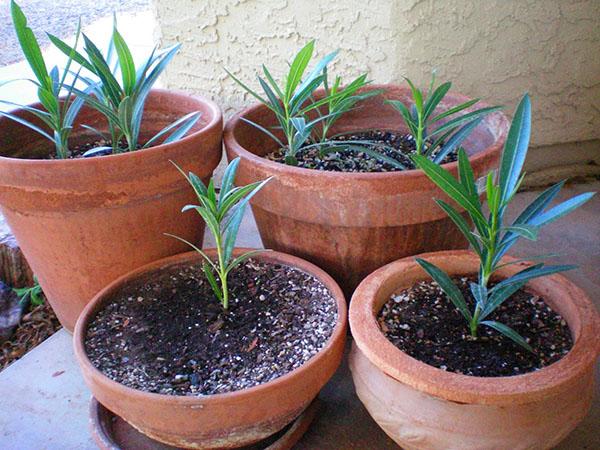 Выращивание олеандра из черенков
