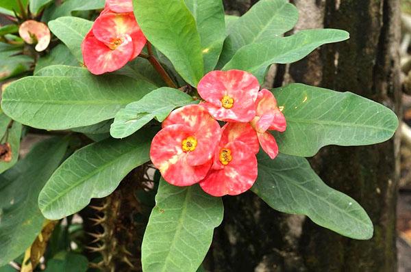 Молочай Миля или Euphorbia milii