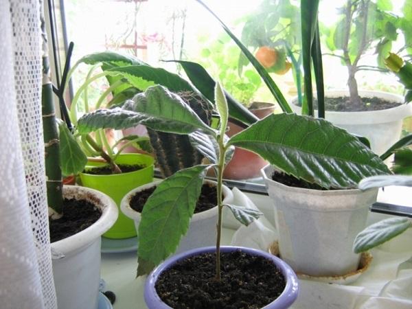 Как выращивать мушмулу в домашних условиях?