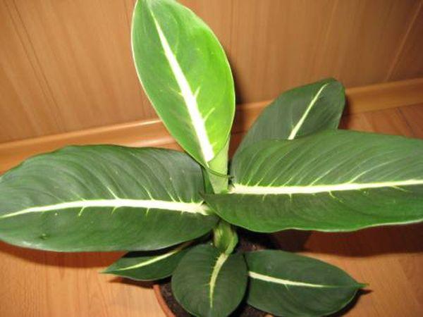 Эрстеда имеет длину листовой пластины около 35 см