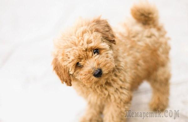 породы самые маленькие собаки фото