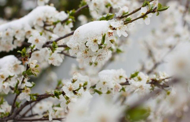 Цветы сливы под снегом