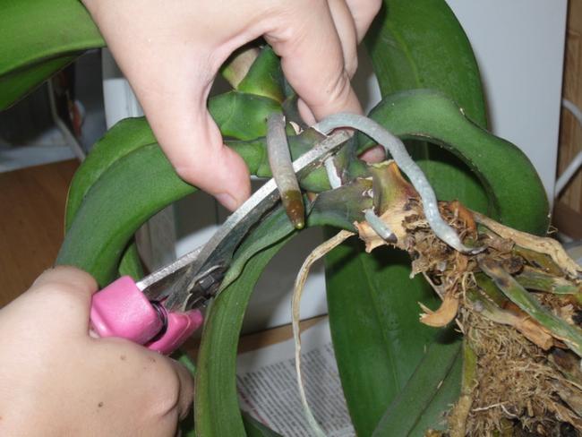 Размножение Пафиопедилума