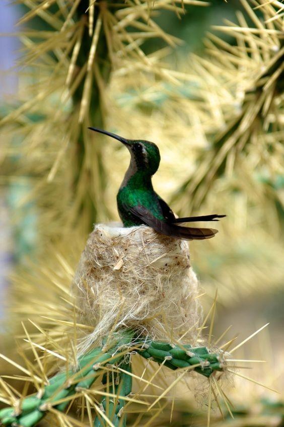 Колибри - самая маленькая птичка на Земле. Вес некоторых не достигает и двух грамм и их называют колибри-пчелка. интересное, колибри, природа, птицы, факты, фауна