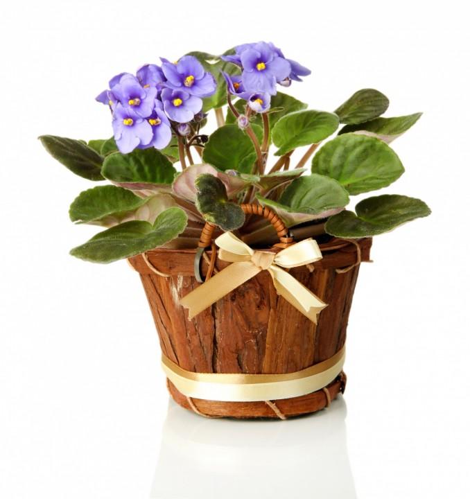 синяя фиалка в красивом деревянном ведерке