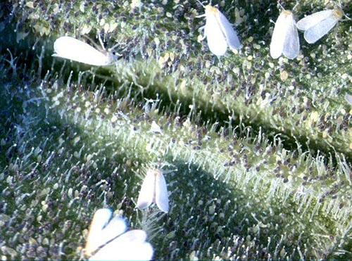 Белокрылка на листьях растений