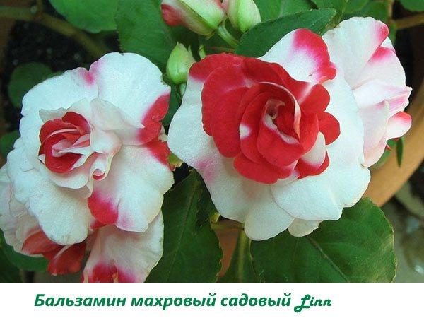 Бальзамин махровый садовый Linn