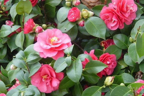 На заботу хозяйки камелия отвечает пышным цветением