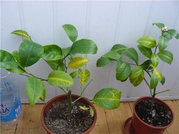 Периодичность пересадки лимона составляет 2–3 года