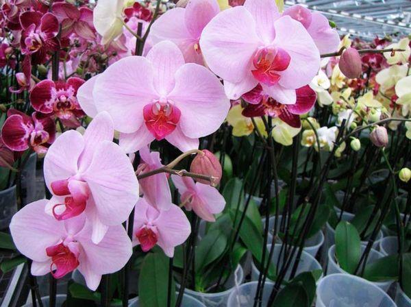 Резкая смена обстановки может заставить орхидею цвести
