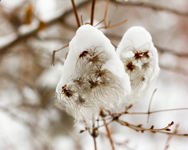 клематисы зимой