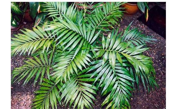 Самые полезные комнатные растения: Такую же функцию выполняет и фикус (Ficus). Помимо насыщения воздуха кислородом, увлажнения и очистки от токсинов, он выделяет фитонциды, подавляющие