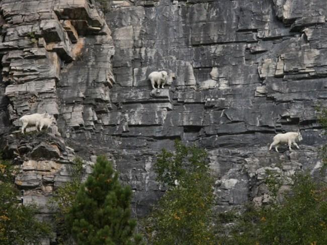 горные козлы бесстрашные животные (14)