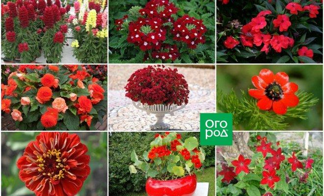 : Однолетники с красными цветками